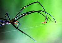 female_giant_wood_spider_chasing_male